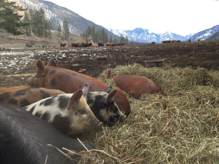 cozy pigs